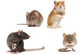 5 Reasons for Professional Rodent & Rat Control.