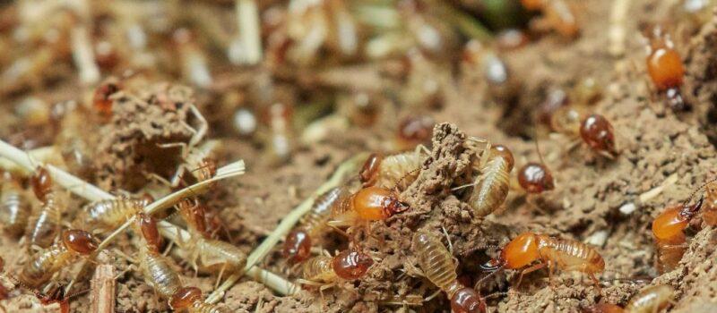 Termites in Queanbeyan